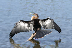 Anhinga On A Perch Stock Photo