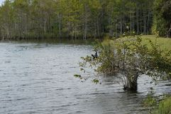 Free Anhinga Perched In Tree Royalty Free Stock Images - 108201289