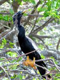 Anhinga perched on tree branch Stock Photos
