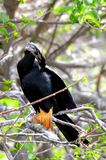 Anhinga perched on tree branch preening feathers Royalty Free Stock Photography