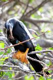 Anhinga perched on tree branch preening, Florida Stock Images