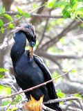 Anhinga perched on tree branch preening Stock Photos