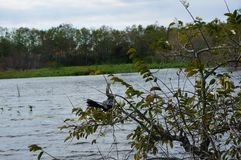 anhinga perched in tree Royalty Free Stock Photos