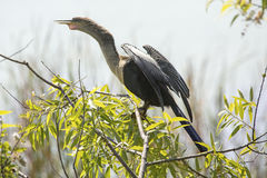 Free Anhinga Perched With Wings Drying At Lake Apopka, Florida. Stock Photo - 94153200