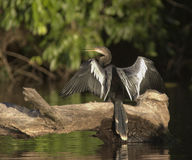 Anhinga - Peru. Anhinga Drying its feathers on lake Sandoval in Peru Stock Photo