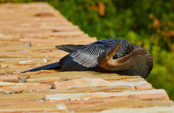 Anhinga In Playful Mood Royalty Free Stock Photography