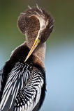 Anhinga Portrait Stock Photography