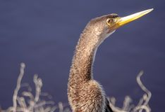 Anhinga Portrait Close up of Face stock photos