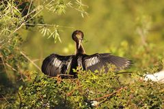 Anhinga preening Royalty Free Stock Images