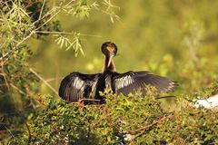 Anhinga preening Stock Photography