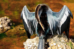Anhinga Preening Stock Photo