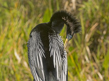 Anhinga Preening in the Wilderness Royalty Free Stock Image