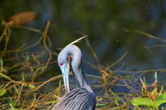 Anhinga in profile Stock Photography