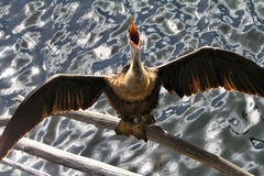Anhinga ptak Zdjęcia Royalty Free