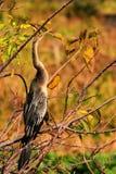 anhinga ptaka zmierzch Fotografia Stock