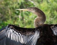 Anhinga Ptasia osuszka swój Szeroko rozpościerać skrzydła Fotografia Stock