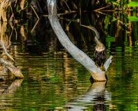 Anhinga que senta-se em uma árvore inoperante fotografia de stock royalty free