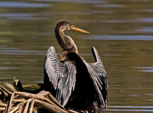 Anhinga. This rear and profile view highlights the beautiful wings and feather patterns and graceful neck and bill of the Anhinga at the Green Cay Nature Center Stock Photos