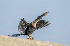 Anhinga séchant ses plumes sur une roche par un petit étang au Mexique images libres de droits