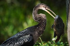 Anhinga's catch Royalty Free Stock Images