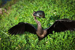 Anhinga's prey Royalty Free Stock Images