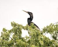 Anhinga samiec w treetop Obraz Royalty Free