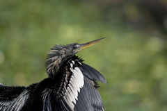 Anhinga with Silver and Black Feathers Closeup Royalty Free Stock Image