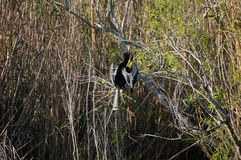 Anhinga sitting on the branch and cleaning feathers. Stock Image