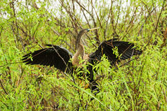 Anhinga Or Snake Bird Royalty Free Stock Photography