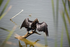 Anhinga (snake bird, water turkey, darter)  drying its wings Royalty Free Stock Photography