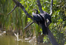 Anhinga (snake bird, water turkey, darter)  drying its wings Royalty Free Stock Photo