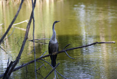 Free Anhinga (snake Bird, Water Turkey, Darter) Sunning To Dry Off After Diving Into The Water Royalty Free Stock Photography - 57196427