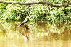 Anhinga Snakebird στην αμαζόνεια ζούγκλα Στοκ εικόνες με δικαίωμα ελεύθερης χρήσης