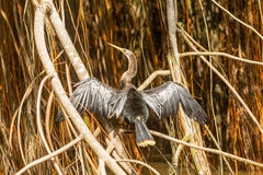 Anhinga Snakebird In Amazonian Jungle Stock Photography