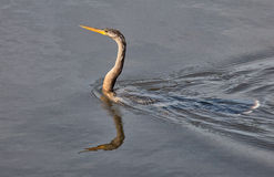 Anhinga. (snakebird, darter, American Darter, Water Turkey) swimming in warm shallow waters.  Ding Darling Wildlife Preserve, Sanibel, Florida Stock Photo