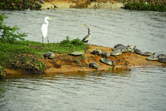 Anhinga snakebird, great egret and many turtles Royalty Free Stock Photography