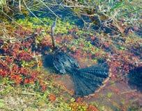 Anhinga sob a água Fotos de Stock