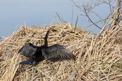Anhinga-Sonnen, seine Federn trocknend stockbilder