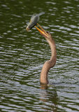 Anhinga with speared large-mouth bass Stock Image