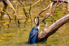 Anhinga Spearfishing Foto de Stock