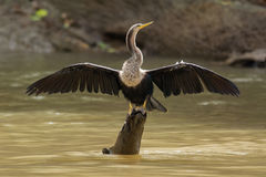 Anhinga. Spreading its wings on a tree stump in Cano Negro, Costa Rica Stock Images