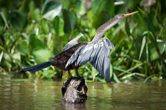 Anhinga spreading wings on rock by reeds Stock Photography