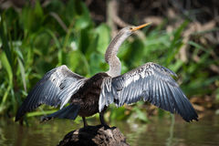 Anhinga spreading wings on rock in water Stock Photos