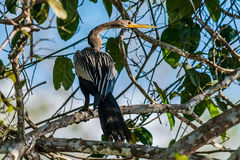 Anhinga standin on branch in the peruvian Amazon Royalty Free Stock Image