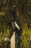 Anhinga stretching neck Stock Image