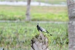 Anhinga on stump. Windblown male Anhinga stares back from stump in Viera Wetlands Stock Photo