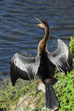 Anhinga sunning with its bill wide open in Florida. royalty free stock images