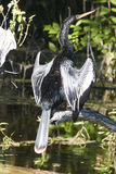 Anhinga Sunning Itself Stock Image
