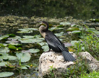 Anhinga Sunning on Rock. Anhinga sunning on a rock in the florida evergaldes Royalty Free Stock Image