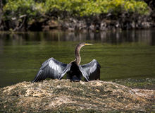 Anhinga Sunning Wings - Wakulla Springs River Royalty Free Stock Photography